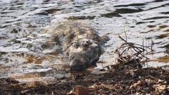 a marsh crocodile on the shore of lake tadoba in tadoba andhari tiger reserve, india- 4K 60p