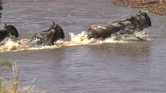 close up of several wildebeest crossing the mara river at masai mara national reserve in kenya