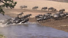 wide view of wildebeest herd crossing the mara river at masai mara national reserve in kenya, africa