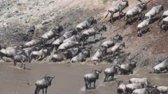 wildebeest herd climbing the steep bank of the mara river at masai mara national reserve in kenya, africa-  4K 60p