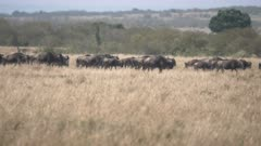 panning shot of a wildebeest herd during their annual migration at masai mara national reserve in kenya, africa-  4K 60p