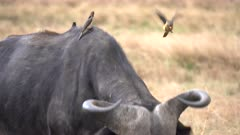 an african buffalo tries to shake off oxpeckers from its head at masai mara national reserve in kenya, africa
