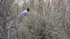 an asian paradise flycatcher sitting on a branch at tadoba andhari tiger reserve in india- 4K 60p