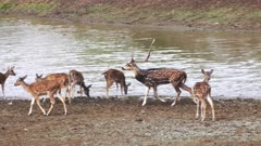 a tracking shot of an axis deer stag and herd of does at a waterhole in tadoba andhari tiger reserve in india