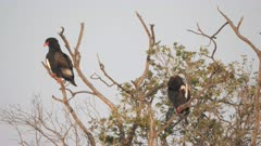 a pair of bateleur eagles in a tree preen their feathers at masai mara national reserve in kenya, africa- 4K 60p