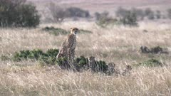 a mother cheetah with cubs looking around masai mara national reserve in kenya, africa