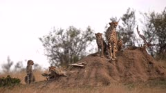 a cheetah mum with three young cubs sits on a termite mound at masai mara national reserve in kenya