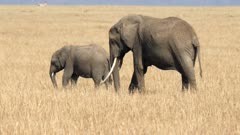 rear view of an elephant cow and calf feeding in masai mara national reserve in kenya, africa