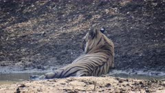 rear view of a male tiger lying in a waterhole to cool off at tadoba andhari tiger reserve in india