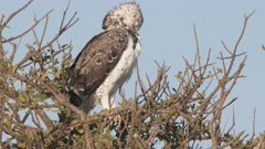 a martial eagle preens its feathers in a tree at masai mara national reserve in kenya, africa- 4K 60p