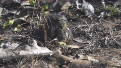 zoom in on a well camouflaged savanna nightjar at tadoba andhari tiger reserve in india