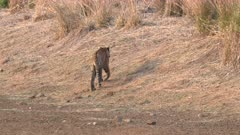 a tiger cub walks away and into the forest at tadoba andhari tiger reserve in india