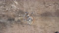 a male tiger cools off in waterhole at tadoba andhari tiger reserve in india