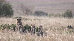 4K 60p shot of cheetah cub litter laying down beside mum at masai mara national reserve in kenya