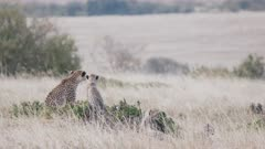 a cheetah mother and cub watch for prey on the savanna of masai mara national reserve in kenya, africa- 4K 60p