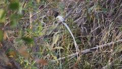 an asian paradise flycatcher bird at tadoba andhari tiger reserve in india- 4K 60p