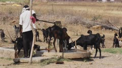 a shepherd pumps water for a flock of goats near tadoba andhari tiger reserve in india- 4K 60p