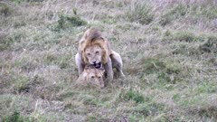 wide shot of two lions mating at masai mara national reserve in kenya, africa