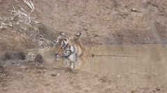 a male tiger cools off by submerging in a waterhole a tadoba andhari tiger reserve in india- 4K 60p
