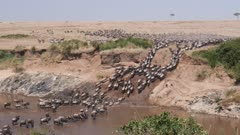 ultra wide angle shot of wildebeest herd crossing the mara river at masai mara national reserve in kenya