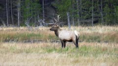 a bull elk standing beside the madison river on misty morning in yellowstone national park