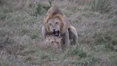 4K 60p close up of a lion and lioness mating at masai mara national reserve in kenya