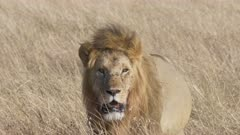4K 60p close view of a male lion walking at masai mara national reserve on a sunny morning