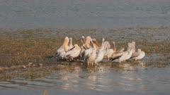 great white pelicans on the shore of lake man sagal in jaipur, india-  4K 60p