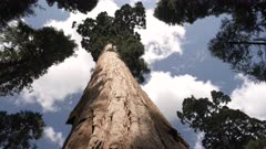 low angle shot of a giant sequoia trunk at calaveras big trees state park in california