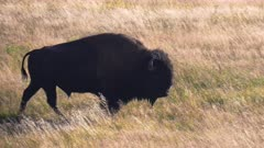 a tracking shot of a bison walking in yellowstone national park of wyoming, usa