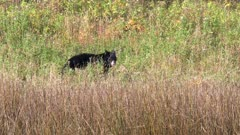 tracking shot of a black bear walking and feeding in grass at yellowstone national park in wyoming