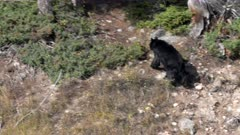 a black bear climbs up a hillside in yellowstone national park in wyoming, usa