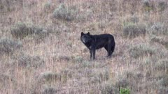 early morning side view of the alpha black male wolf standing on a hill  in hayden valley at yellowstone national park. 1014 is a member of the wapati pack