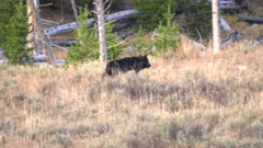 tracking shot of a lone black wolf starting to run at the hayden valley of yellowstone national park in wyoming, usa