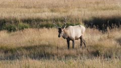 close view of a bull elk approaching in yellowstone national park in wyoming, usa