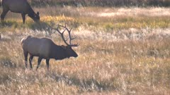 a elk bull starts walking towards the camera at yellowstone national park in wyoming, usa