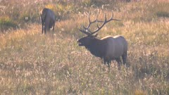late afternoon back lit clip of a bull elk calling during the rut at yellowstone national park in wyoming, usa
