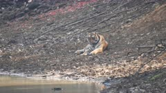 male tiger resting beside a water hole on a hot day at tadoba andhari tiger reserve in India
