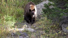 a black bear approaches as a tourist moves away on mt washburn in yellowstone national park in wyoming, usa
