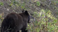 a black bear eating berries on mt washburn of yellowstone national park in wyoming, usa