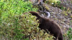 black bear behind a berry bush on mt washburn in yellowstone national park in wyoming