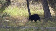 a medium angle shot of a black bear eating berries at yellowstone national park in wyoming, usa