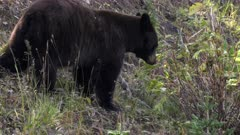 rear view of a black bear eating berries on mt washburn in yellowstone national park of wyoming, usa