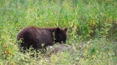 a black bear resumes eating carrion at yellowstone national park in wyoming, usa