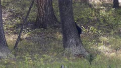 a black bear rubs its back against a tree at yellowstone national park in wyoming, usa