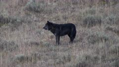 a dawn side view of a black wolf at hayden valley in yellowstone national park in wyoming, usa