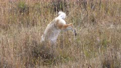 a coyote leaps into the air and dives into long grass after a mouse in a meadow at yellowstone national park of wyoming, usa