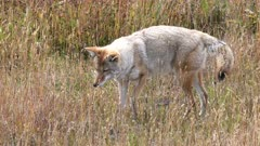 a coyote listens intently to a small animal in the grass of a meadow at yellowstone national park in wyoming, usa