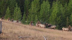 an early autumn shot of an elk bull, with cows, bugling at yellowstone national park in wyoming, usa