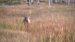 a bull elk wallowing in a marsh at yellowstone national park in wyoming, usa